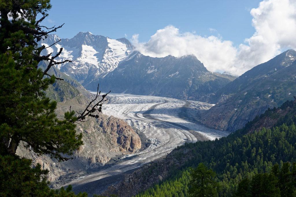 Glacier d'Aletsch et forêt d'arolles
