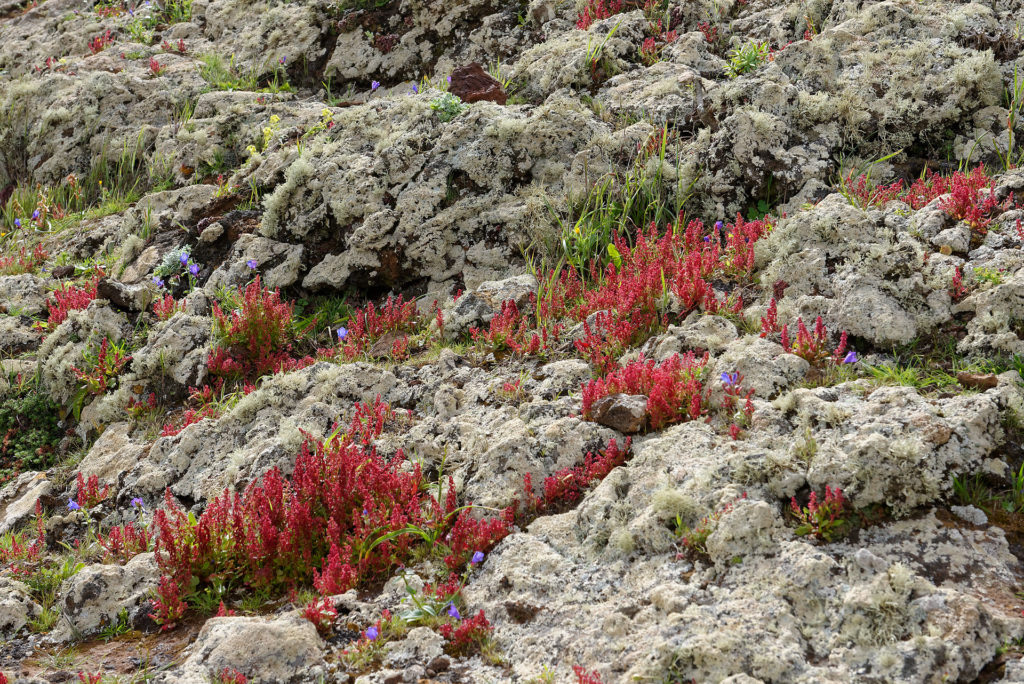 Mousse, lichens et fleurs à Lanzarote