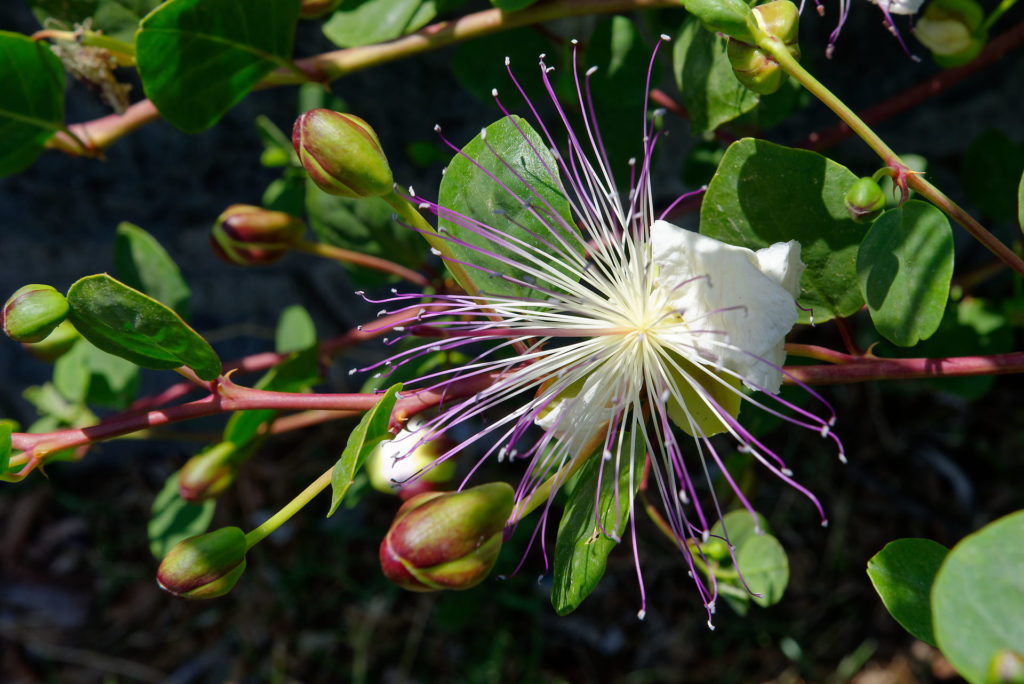 Fleur de caprier, Salina
