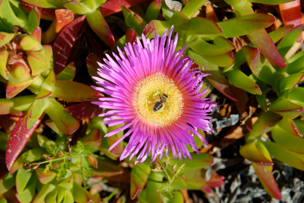 Fleur à Vulcanello