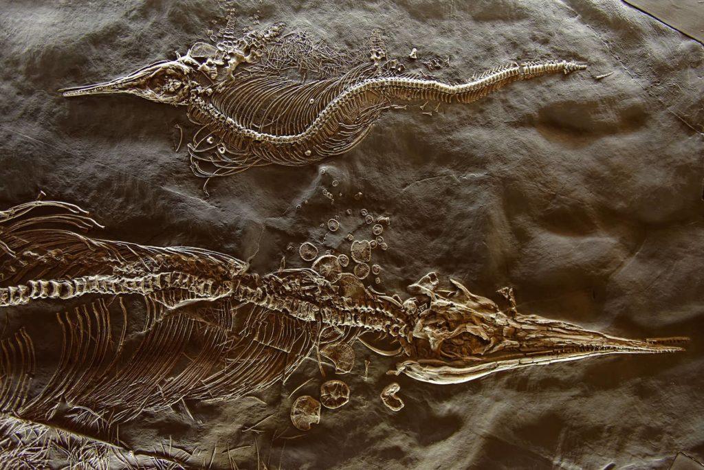 Fossiles au musée de Meride