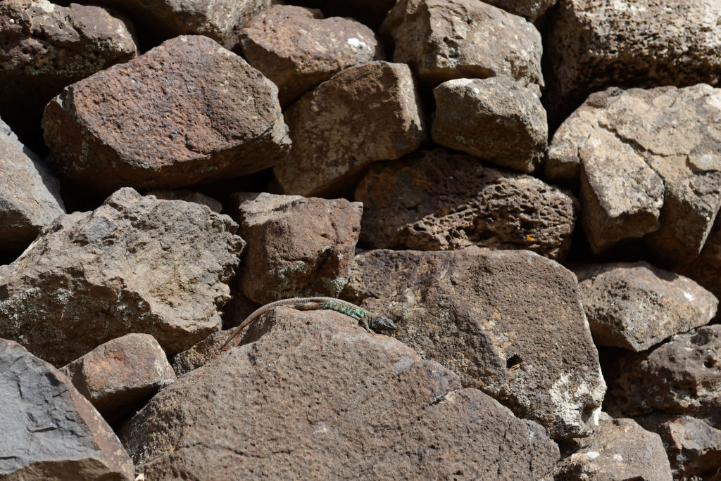 Lézard endémique Lanzarote