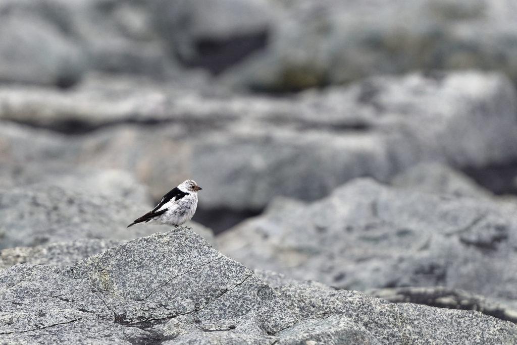 Oiseau, Islande