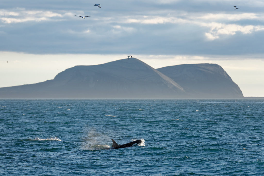 Surstey, fous de bassan et baleine
