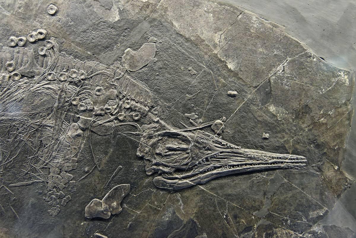 Les plus beaux fossiles de Suisse: les ichtyosaures du Monte San Giorgio