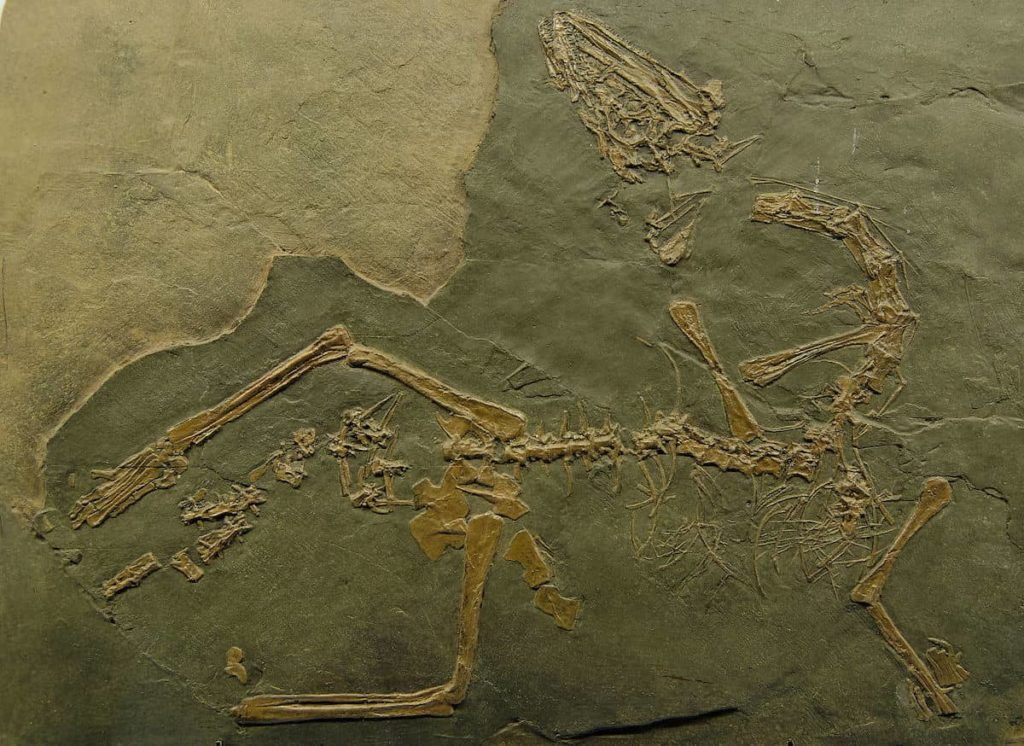 Parmi les plus beaux fossiles de Suisse: Macrocnemus bassanii