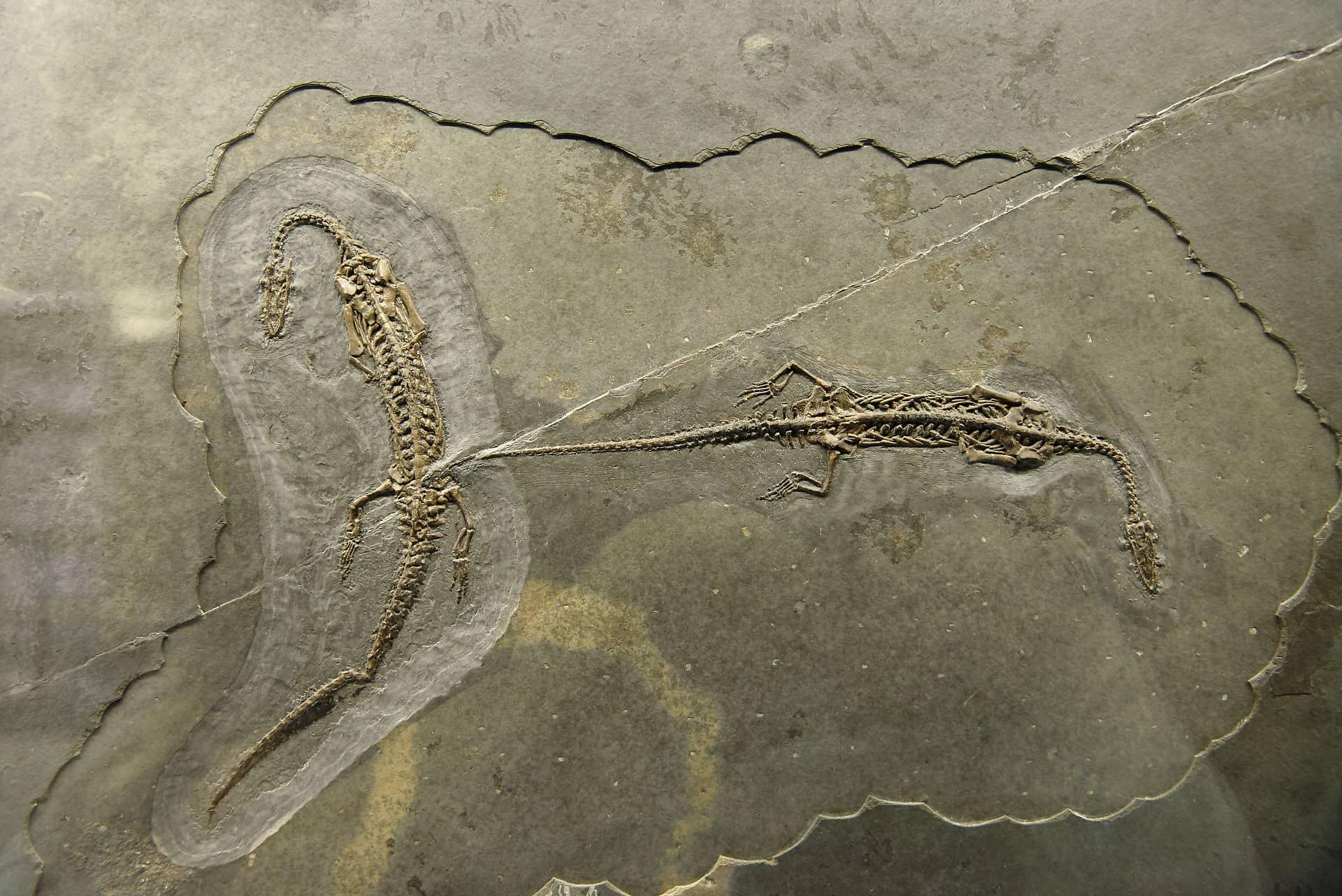 Parmi les plus beaux fossiles de Suisse il y a les Neusticosaures du Monte San Giorgio