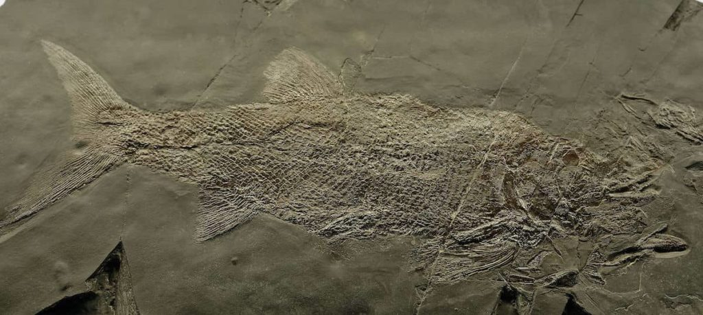 Fossiles de poissons au Musée des fossiles de Meride